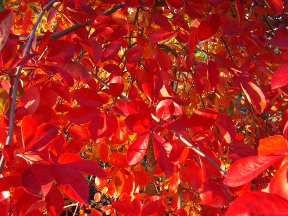 Nyssa syl. 'Autumn Cascade'  leaf close-up