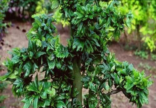 Fagus syl. 'Cristata' leaf detail