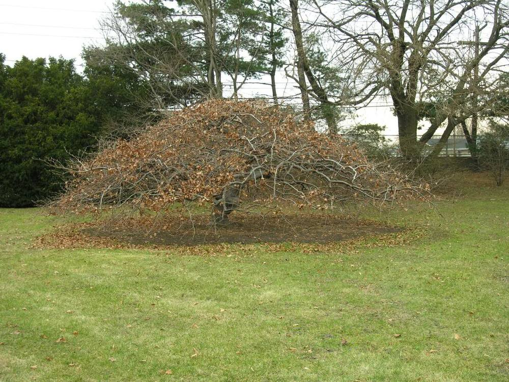 EXAMPLE (not for sale) Branching structure of mature  Fagus syl.  'Tortuosa Purpurea'