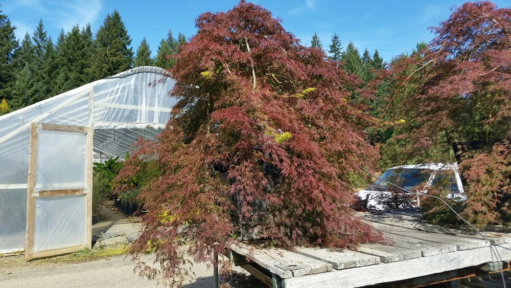 Acer p.d.  'Emerald Lace' being trained on our elevated display racks