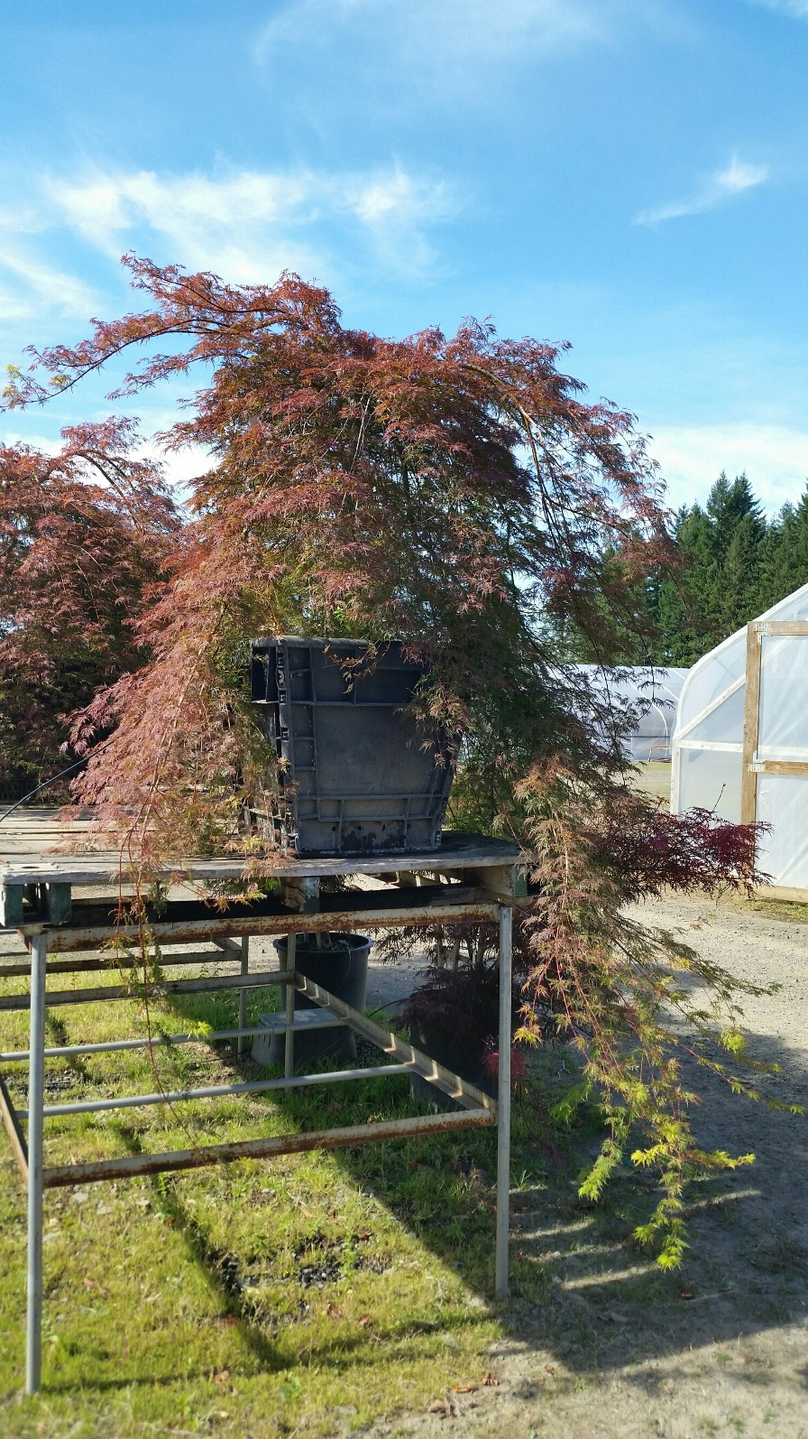Acer p.d. 'Emerald Lace' being trained on our display racks. Approx 9' from top of tree to end of branches