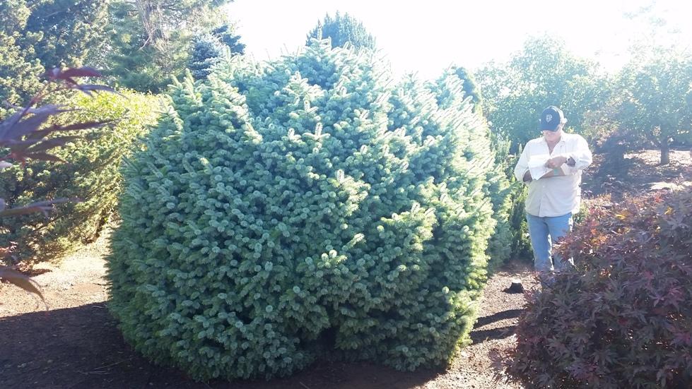 Picea sitchensis 'Papoose' specimen