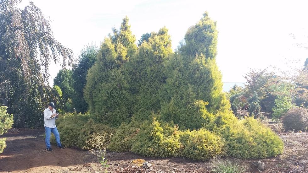 Thuja occ. 'Rheingold'- 3 large specimen trees & Thuja occ. 'Golden Globe'- 12 Jr Specimen shrubs