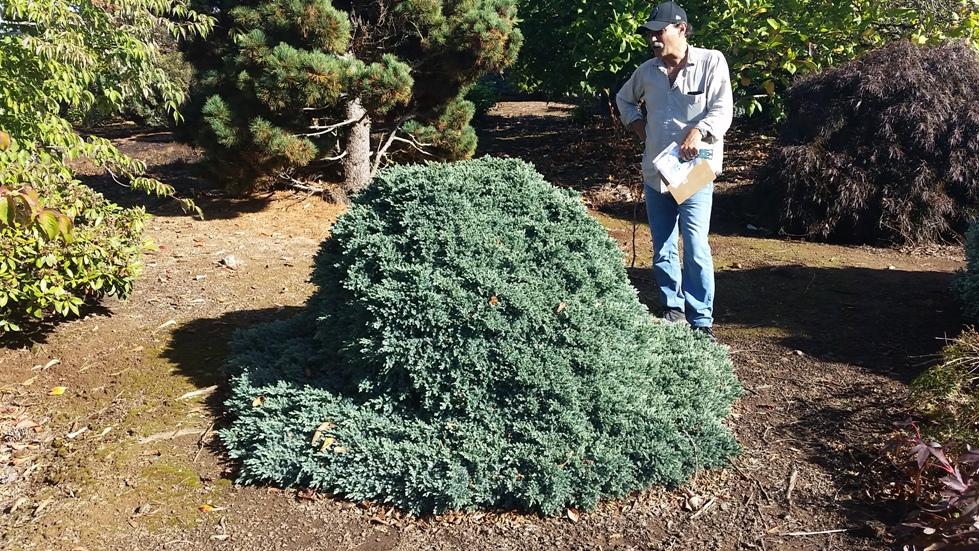 Juniperus sq. 'Blue Star' specimen
