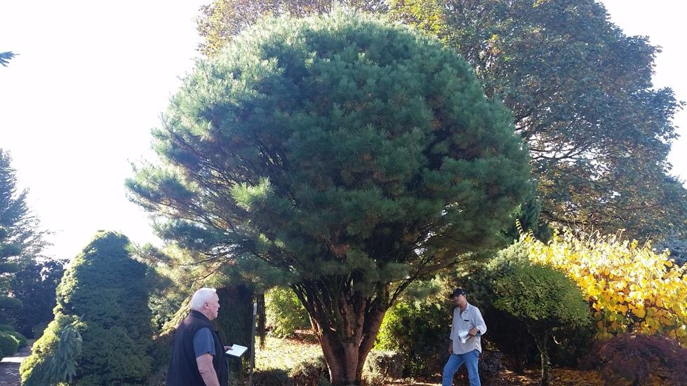 Pinus den. 'Umbraculifera' specimen