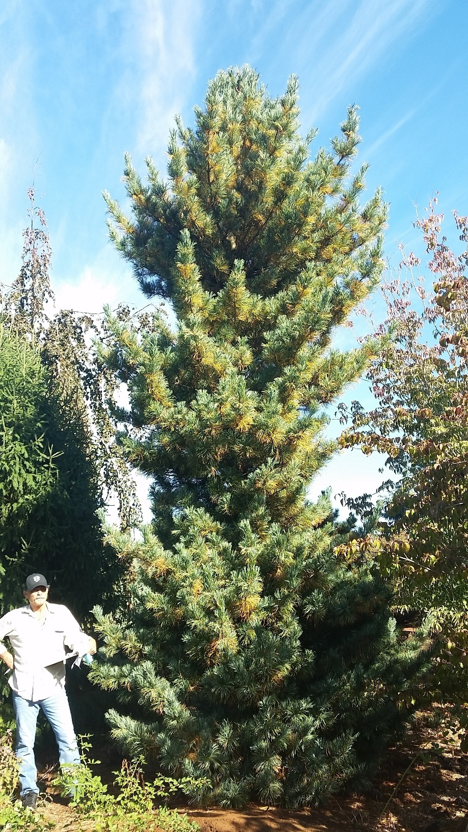 Pinus parviflora Specimen