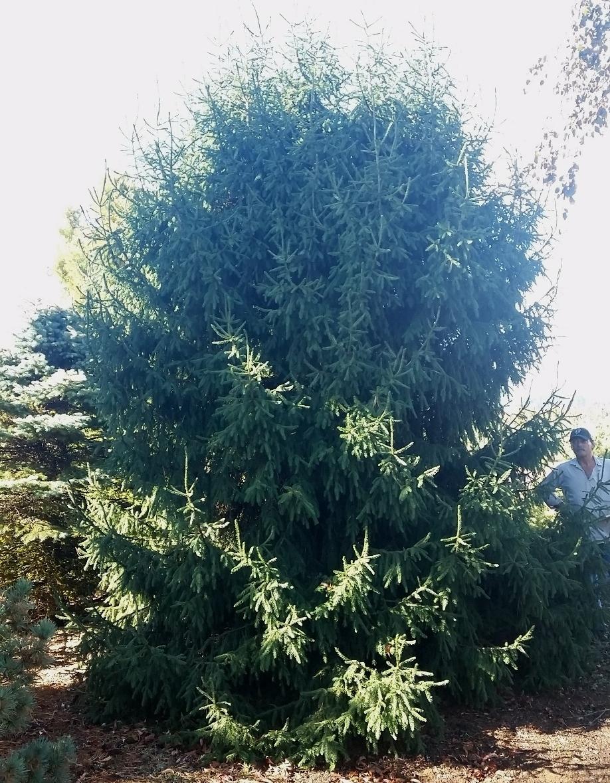 Picea orientalis- unnamed dwarf