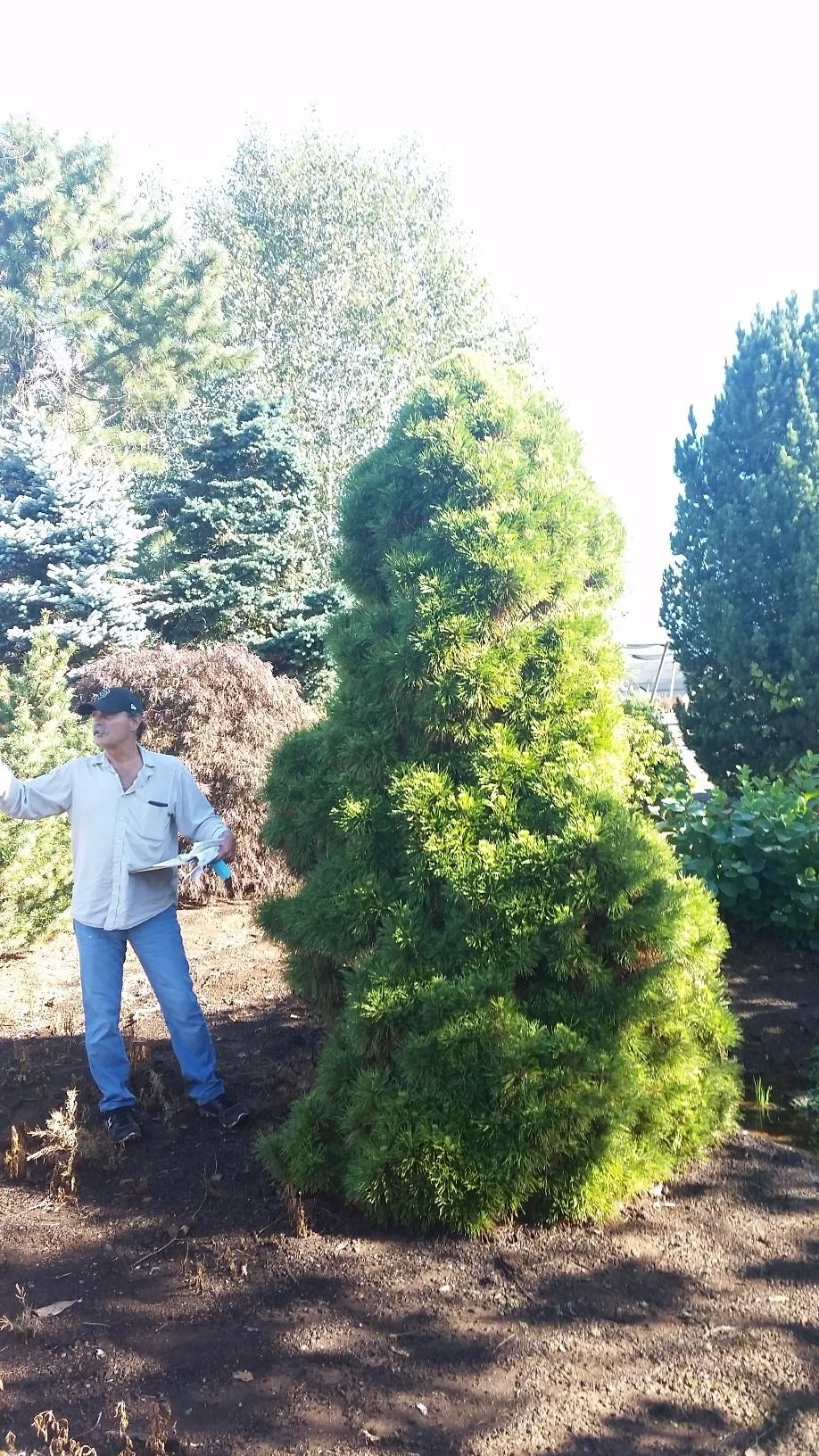 Pinus syl. 'Nana Aurea' specimen