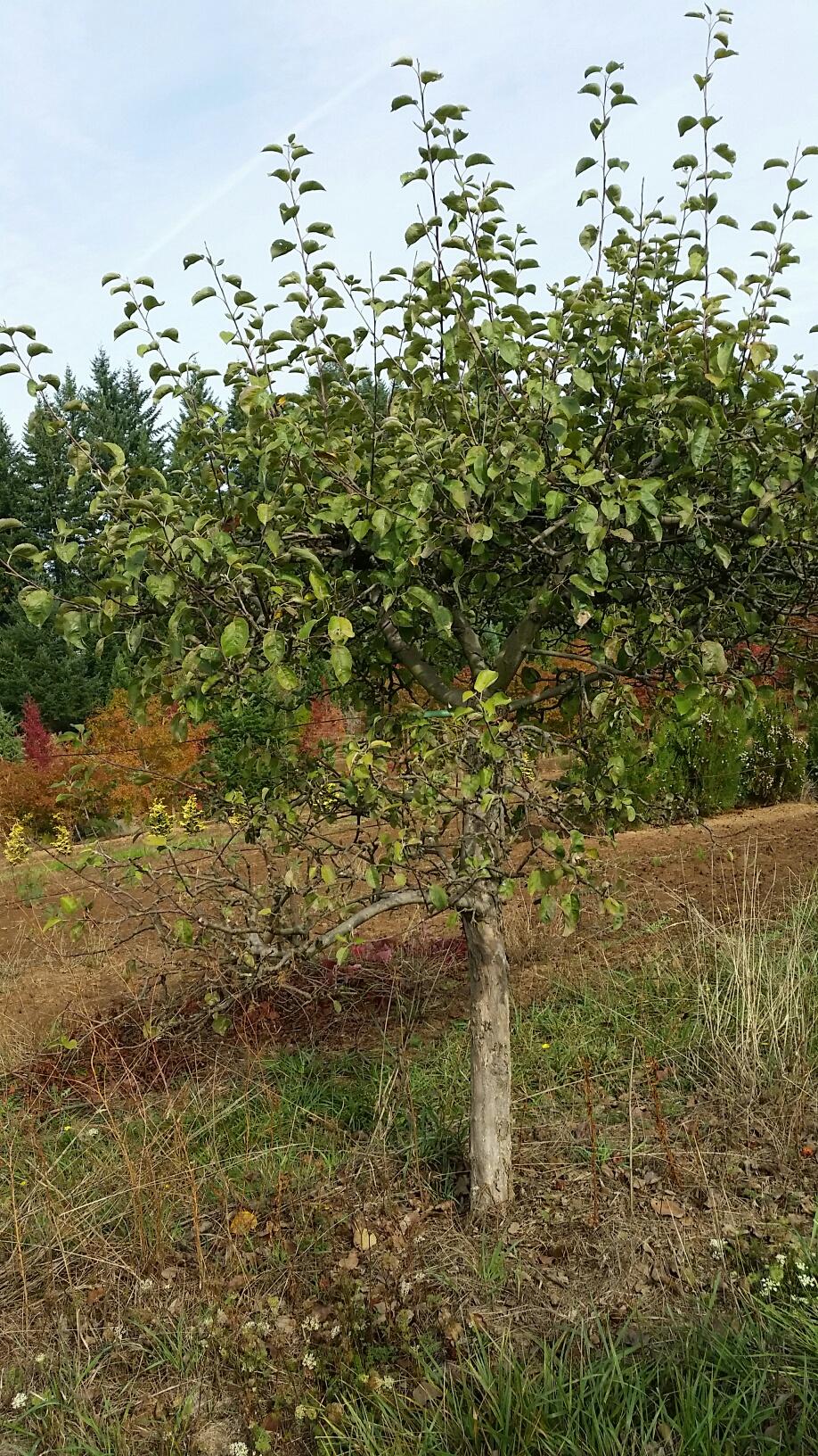 Apple 'Spartan' specimen