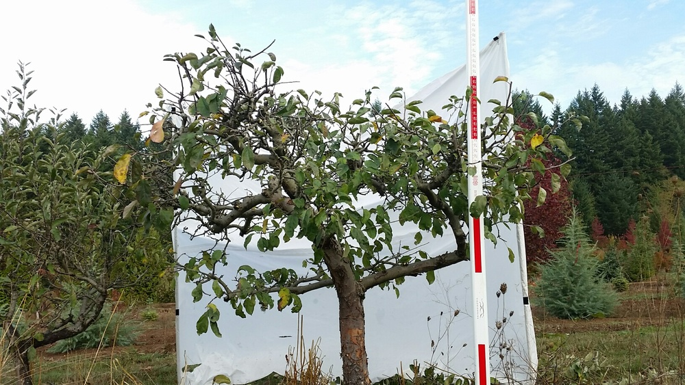Apple- after pruning