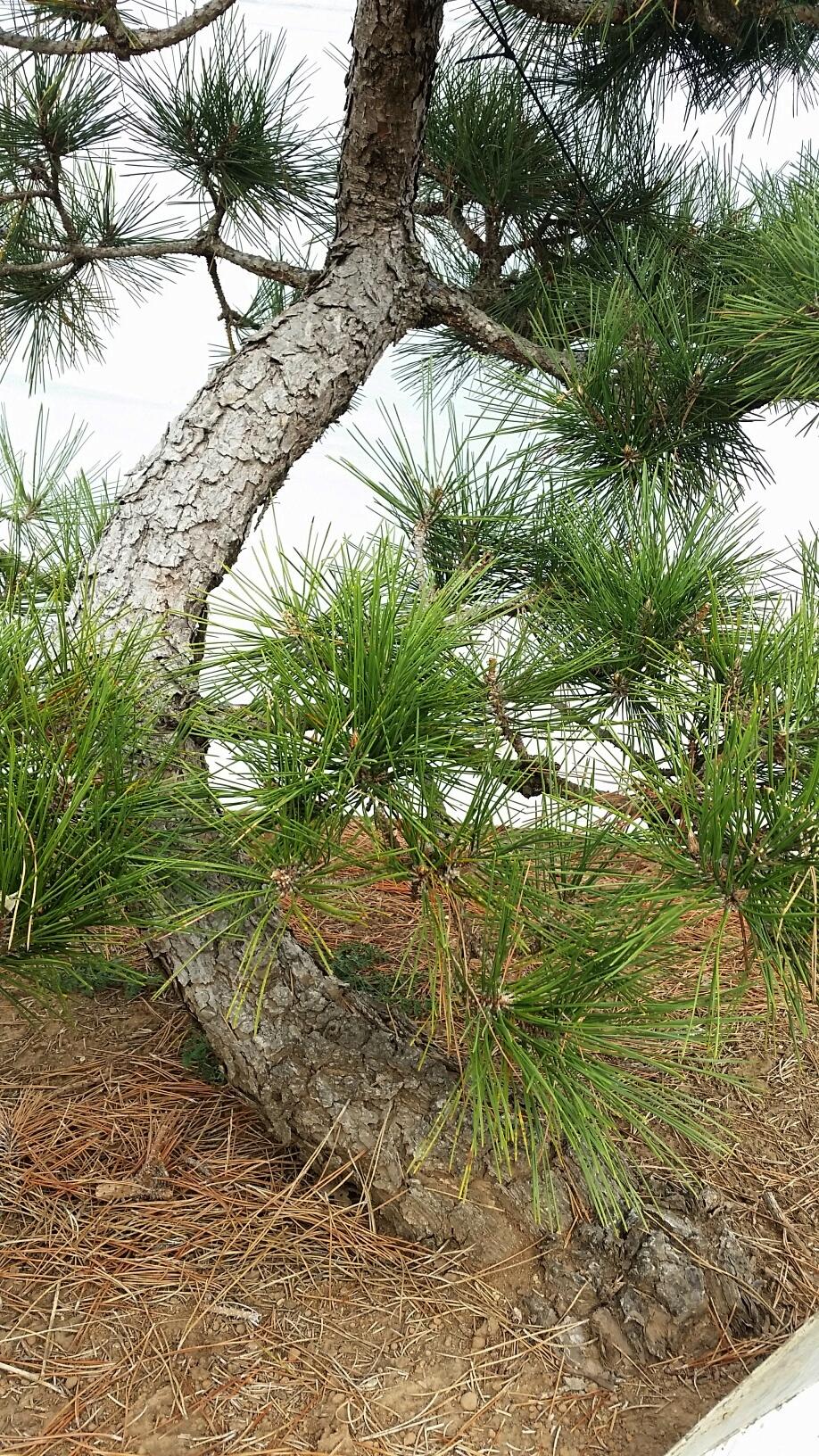 Pinus thunbergii 'Arakawa Sho'