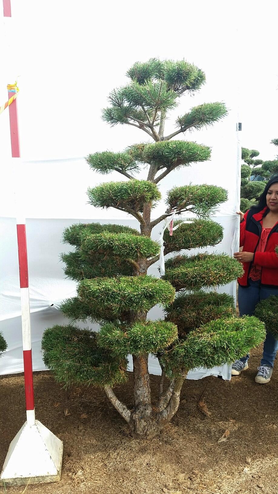 Pinus sylvestris 'Nana Compressa'