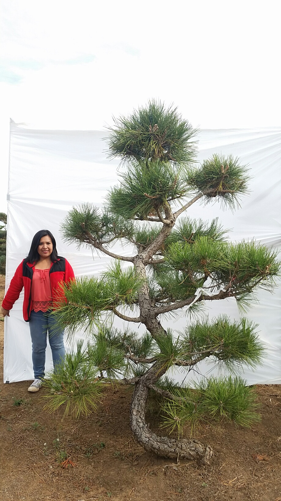 Pinus thunbergii var. corticosa 'Hakuho'