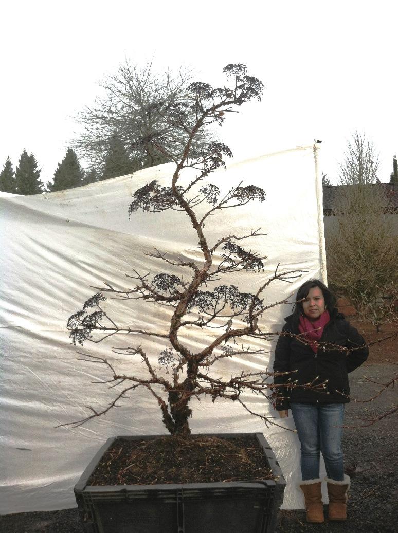 Hydrangea petiolaris Boxed 2 - Copy.JPG