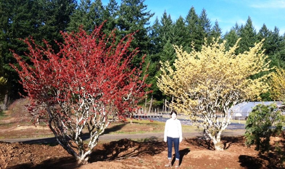 Hamamelis x 'Diane' (red) &Hamamelis mollis (yellow)