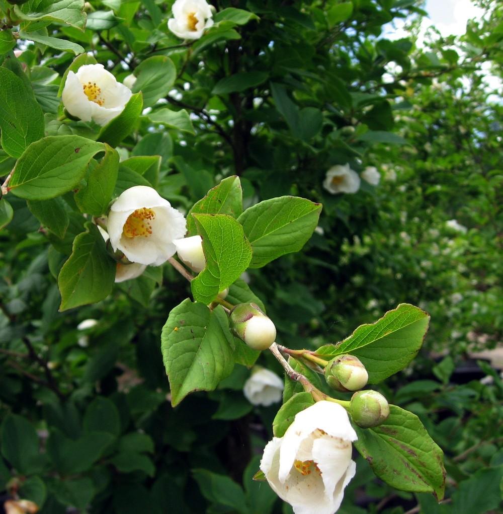 Stewartia psuedocamellia - Spring blooms
