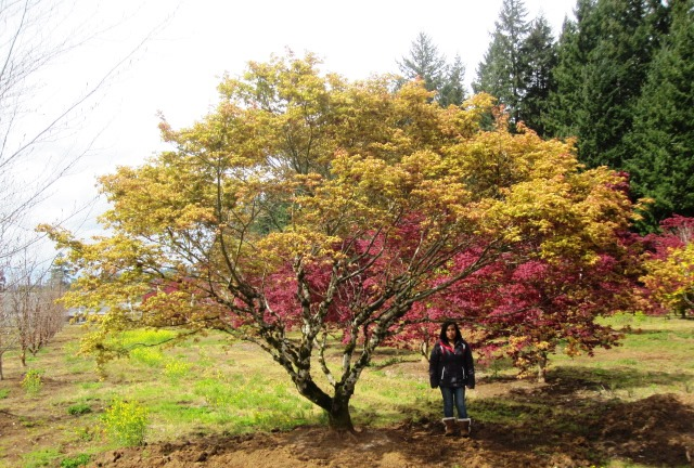 Acer p. 'Aka shigitatsu sawa' transplanted specimen