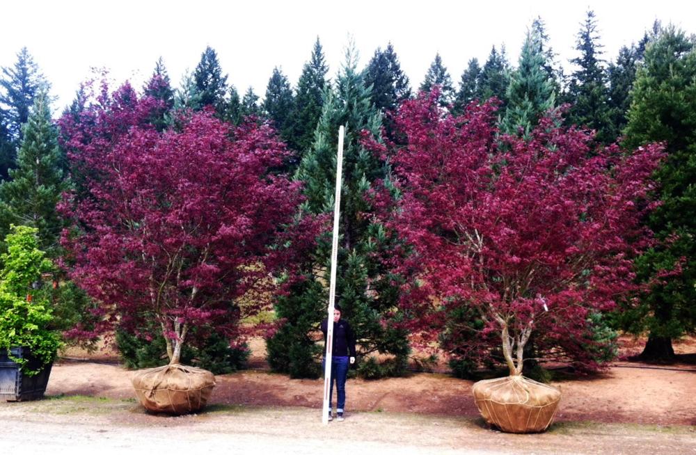 Acer p. 'Bloodgood' multi-trunk specimens