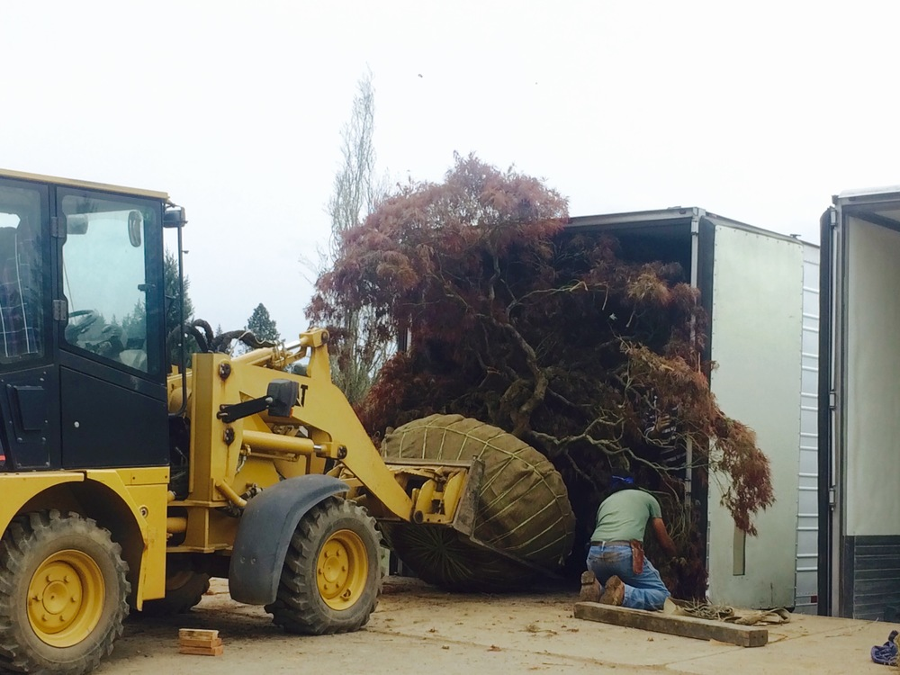 Loading a specimen laceleaf maple. Will it fit?