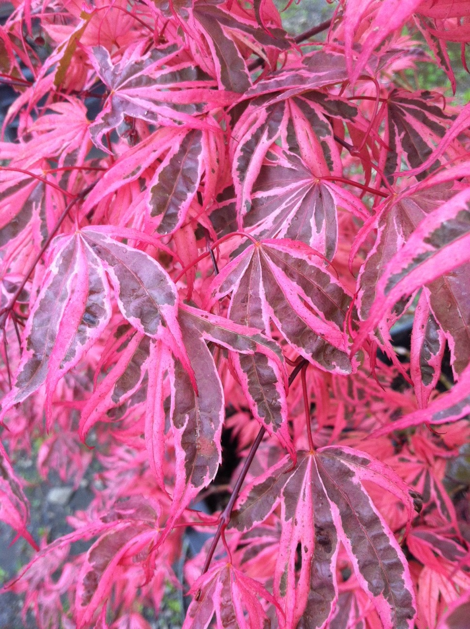 Acer p. 'Geisha Gone Wild' leaf closeup