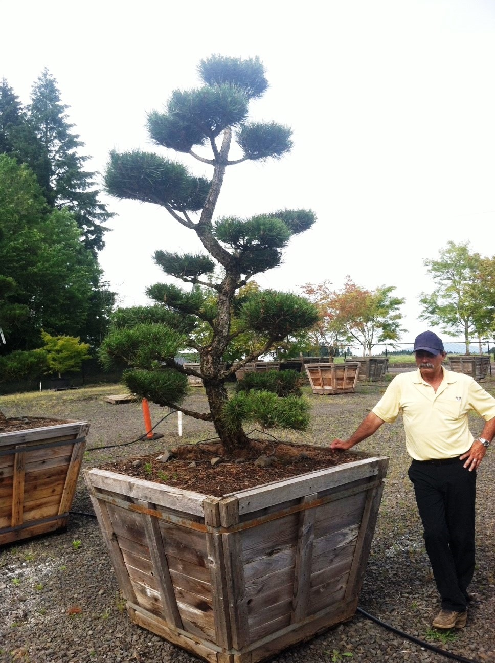 Pinus thunbergiana 'Hakuro'
