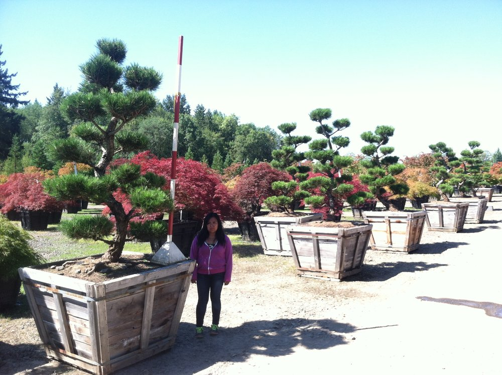 Pinus thun. 'Kakuho'