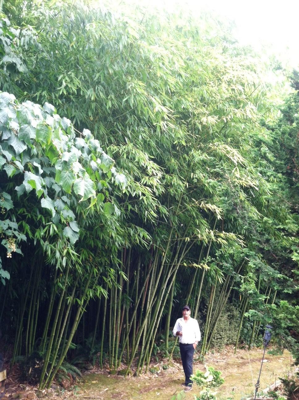 Big Timber Bamboo -Phyllostachys Vivax