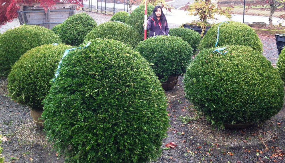 Boxwood - various varieties, shapes and sizes