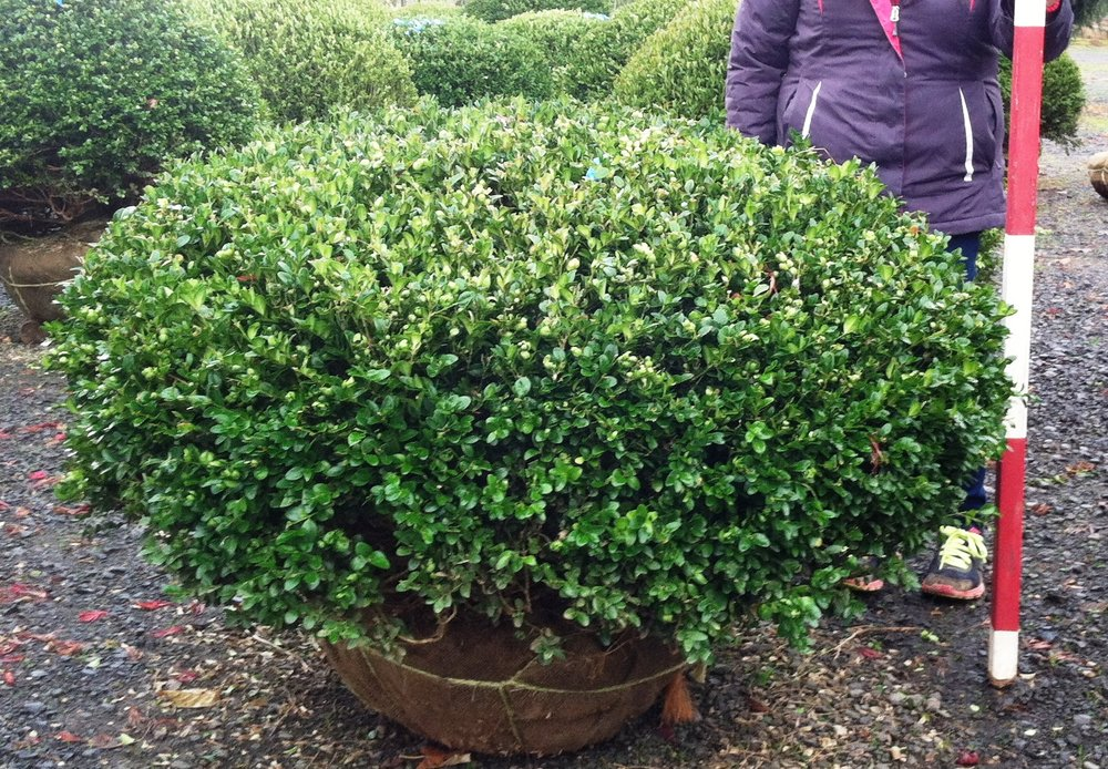 Buxus 'Varders Valley'