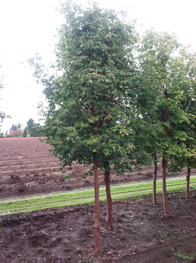 Acer griseum (2).jpg