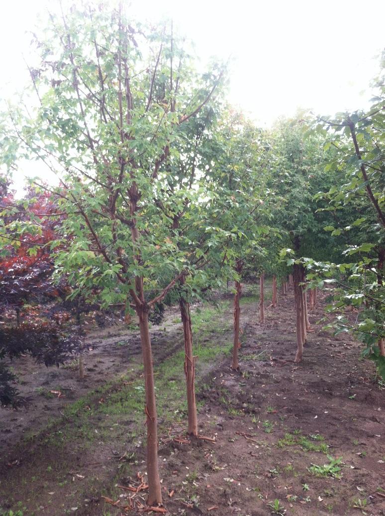 Acer griseum.jpg