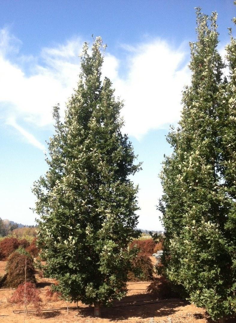 """Quercus robur x alba 'Crimson Spire' 4""""-5"""" caliper"""