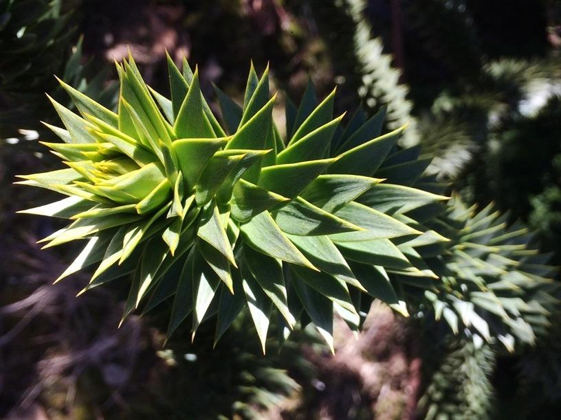 Araucaria araucana (Monkey Puzzle Tree)