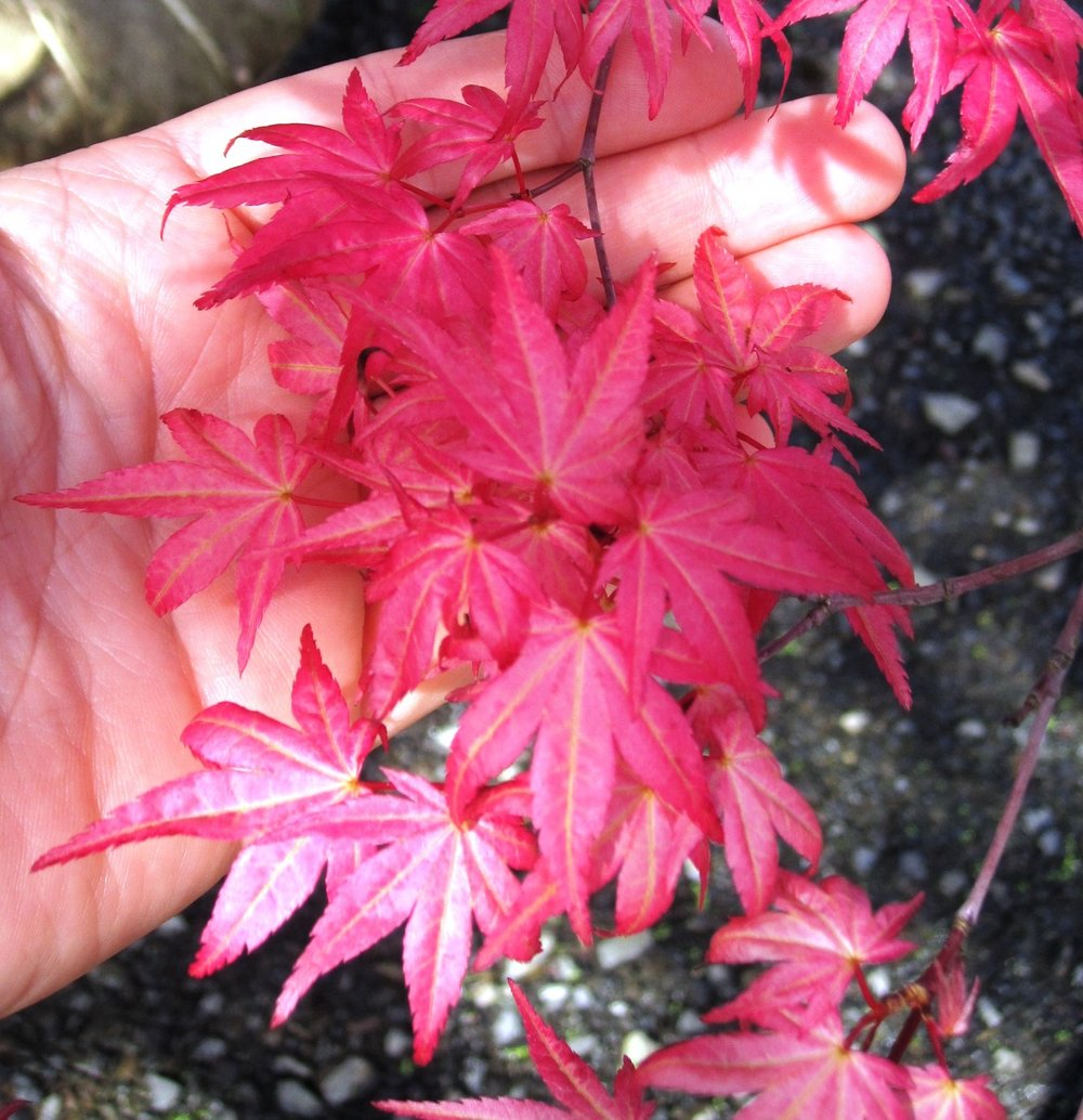 Acer palmatum 'Shindeshojo' spring growth
