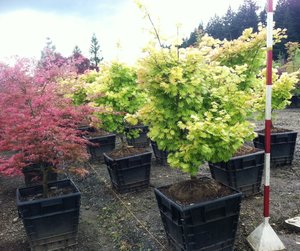 Acer Shirasawanum Aureum Jaycee Newman Inc