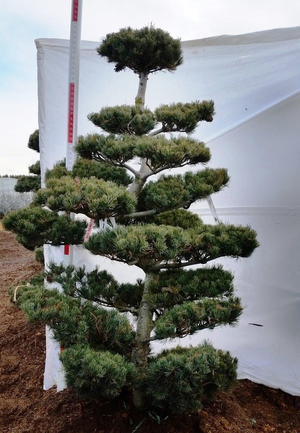 Pinus parviflora 'Hakko'