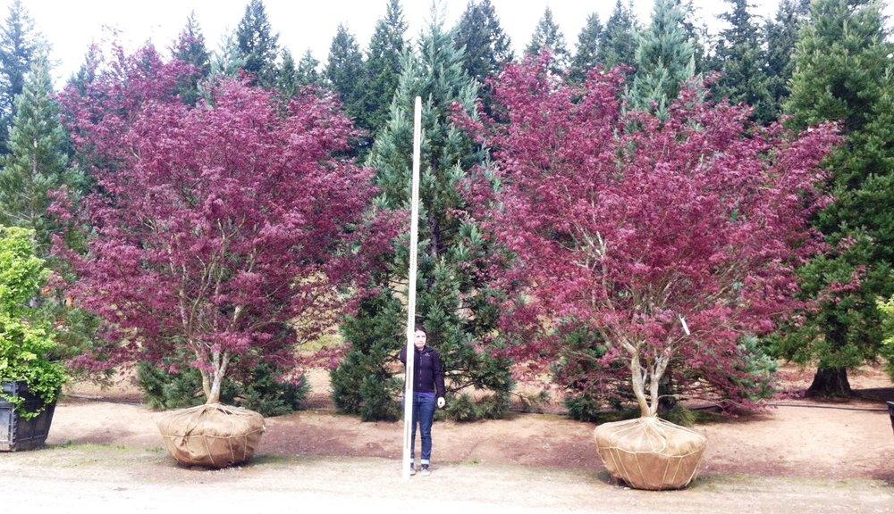 Acer p Bloodgood 3.jpg