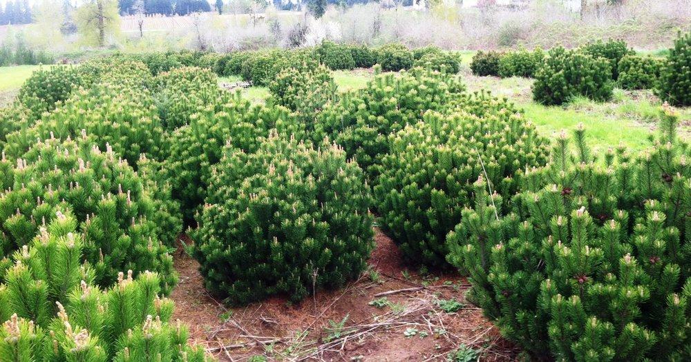 Pinus mugo.JPG