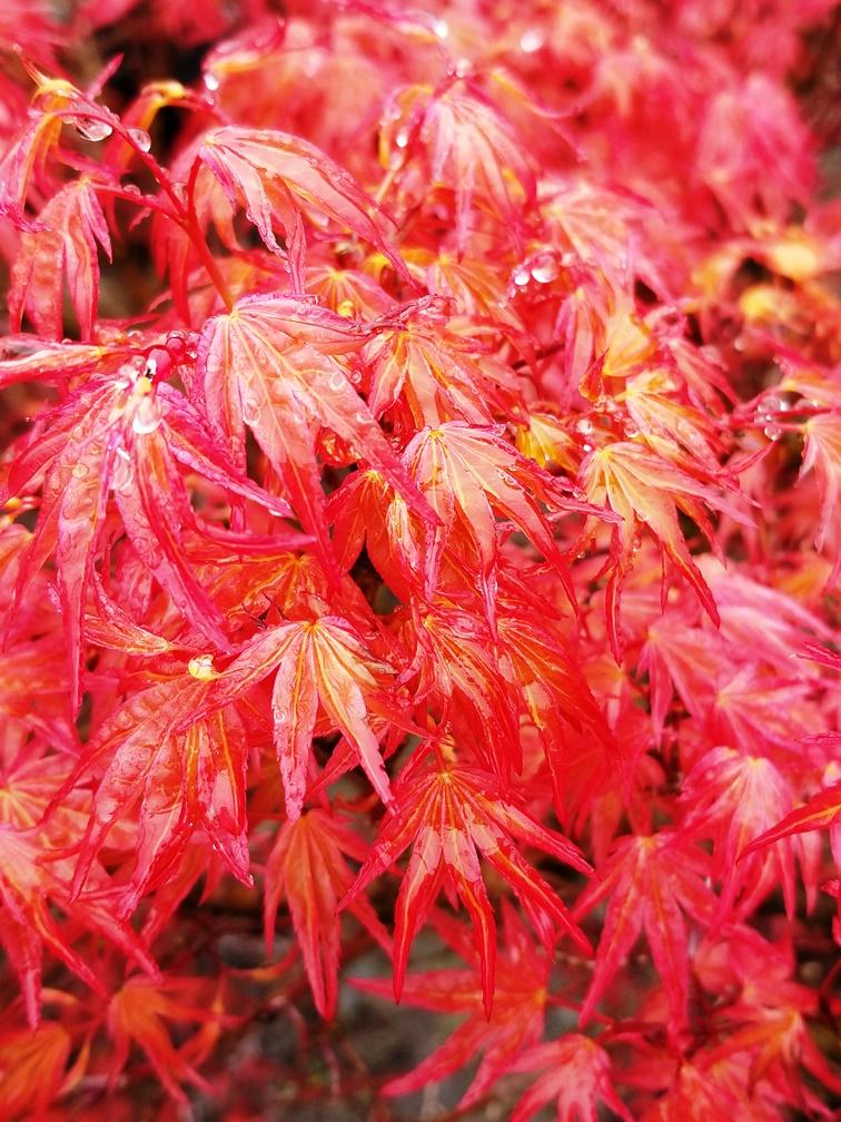 Acer p. 'Corallinum' leaf.jpg