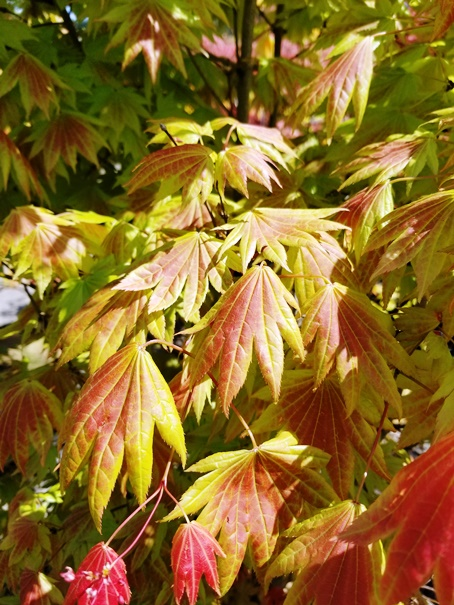 Acer shir. 'Moonrise' leaf.jpg