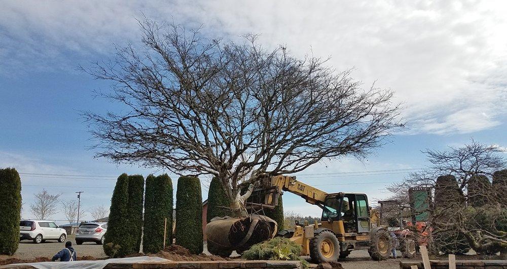 Transplanting a large Burgundy Lace Specimen