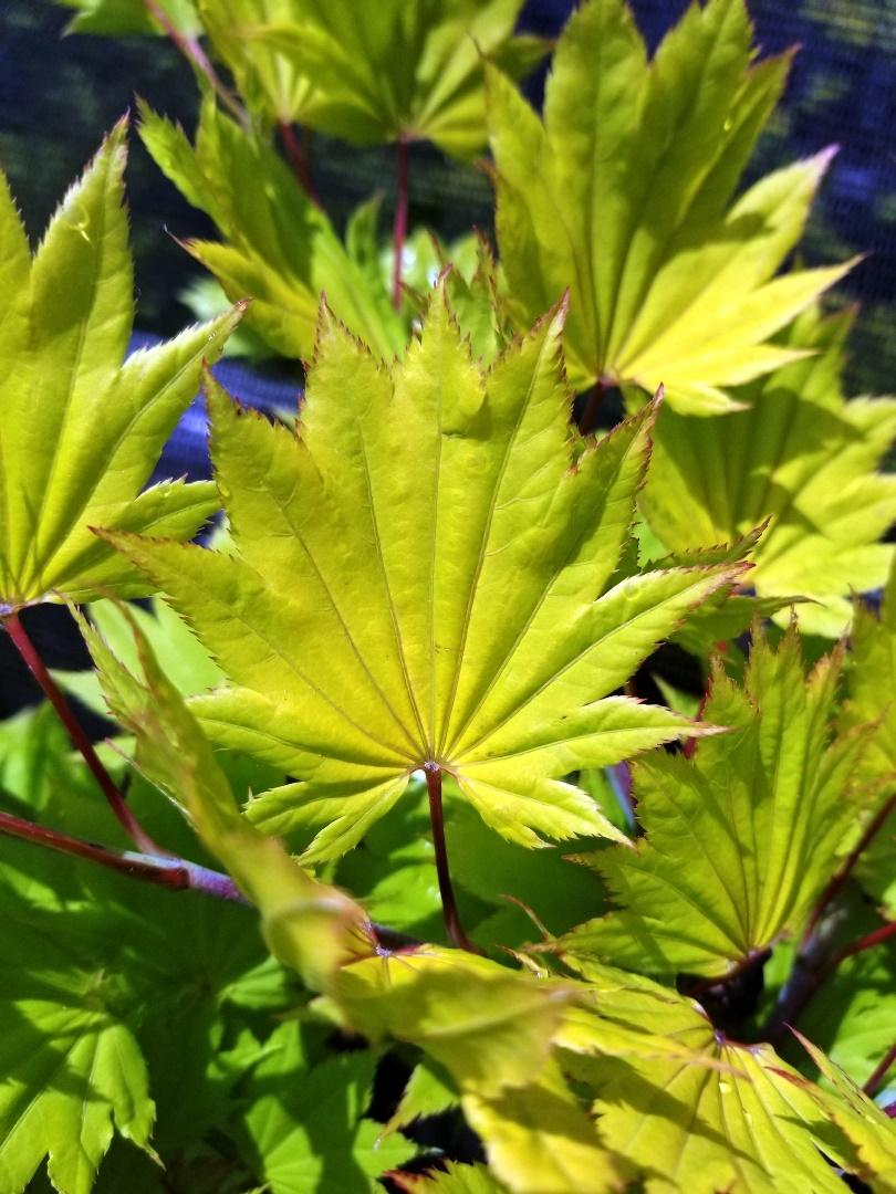 Acer Shir. 'Aureum' Leaf.jpg