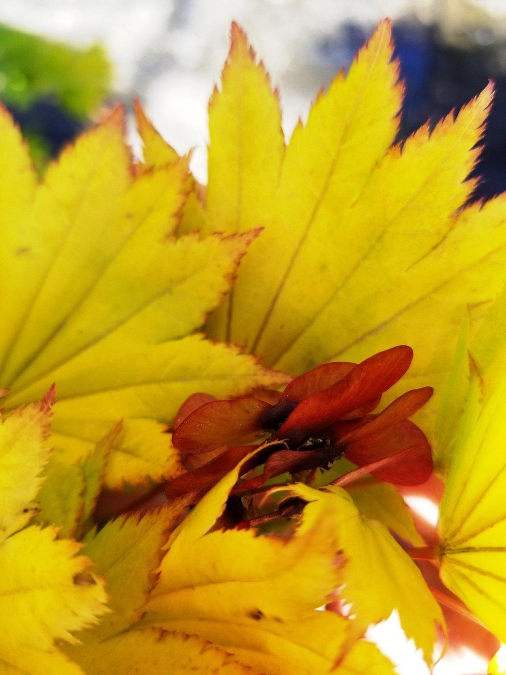 Acer shir. 'Aureum' samaras.jpg