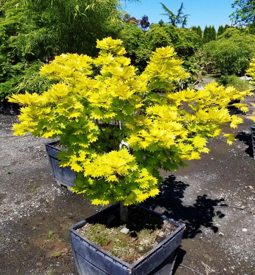 Acer shirasawanum 'Aureum'.jpg