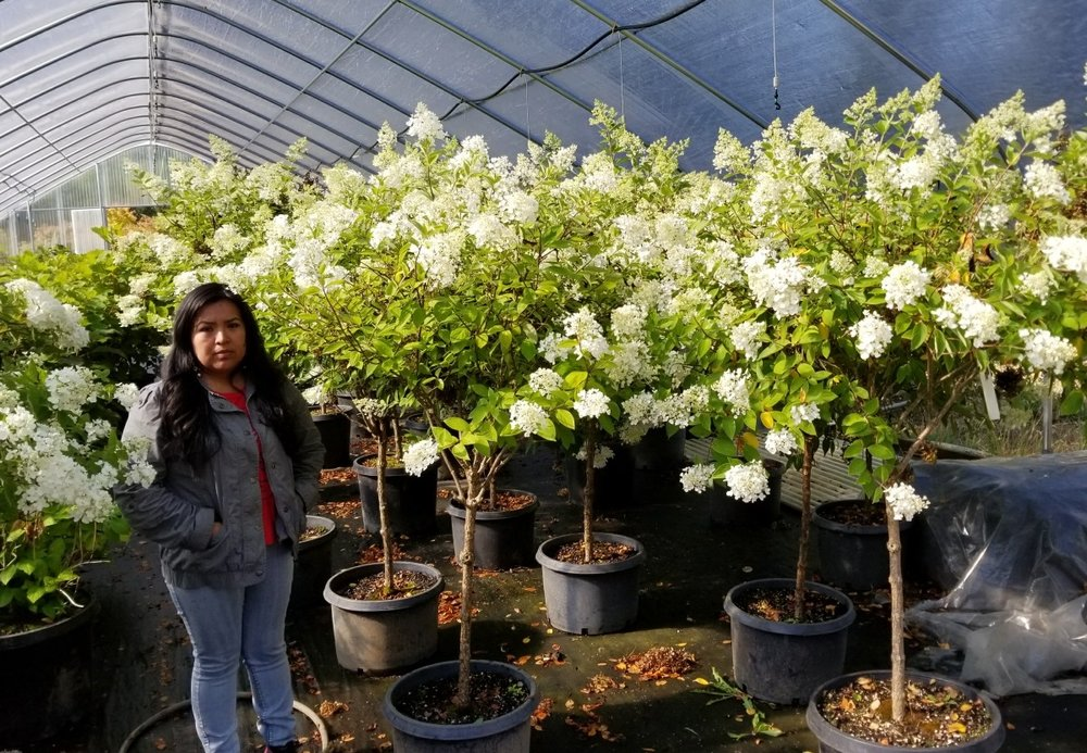 Hydrangea paniculata 'PeeGee'