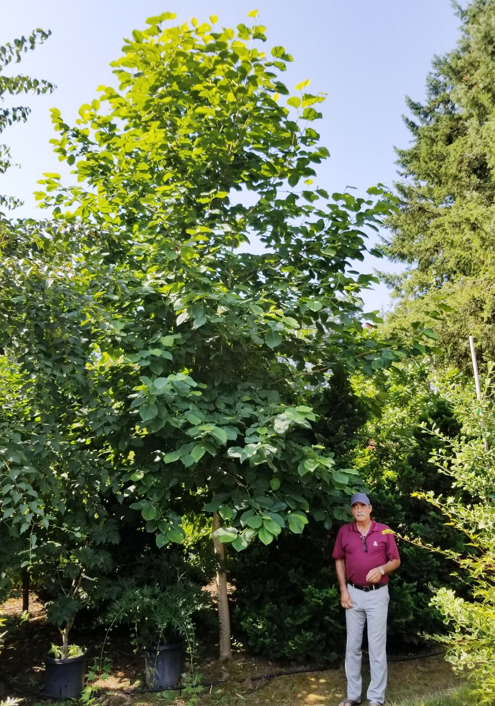 Magnolia 'Elizabeth'.jpg