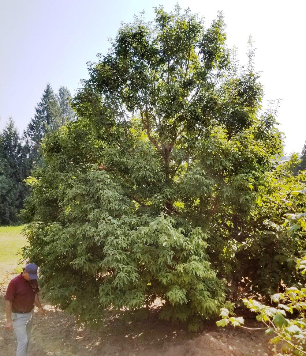 Acer grisuem 'Gingerbread' 2.jpg