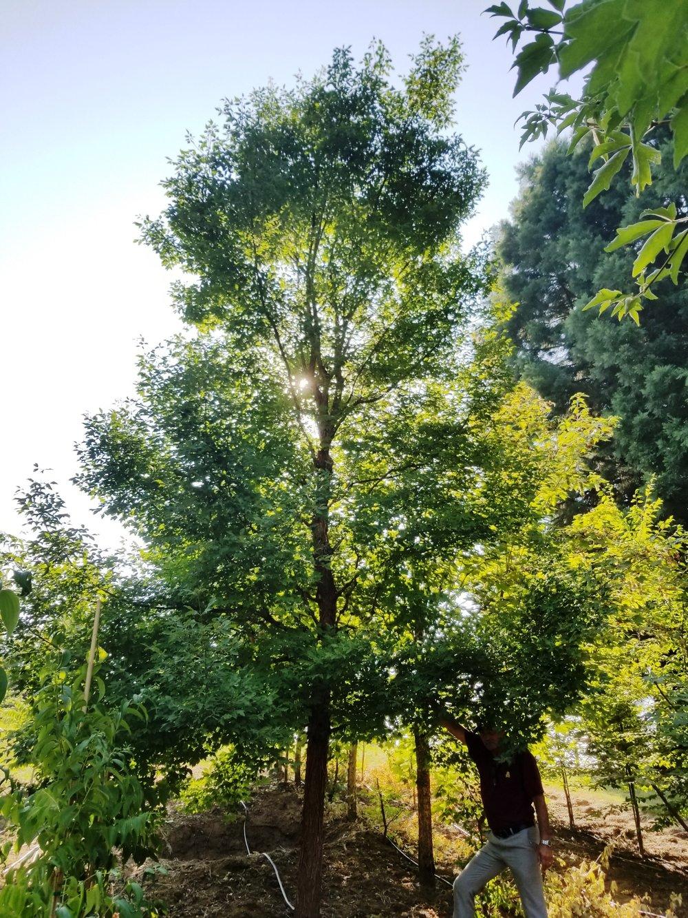 Acer griseum 'Gingerbread' Specimen.jpg