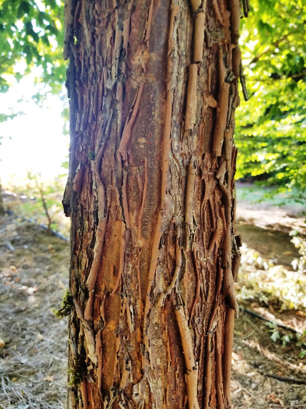 Acer griseum 'Gingerbread' Bark.jpg