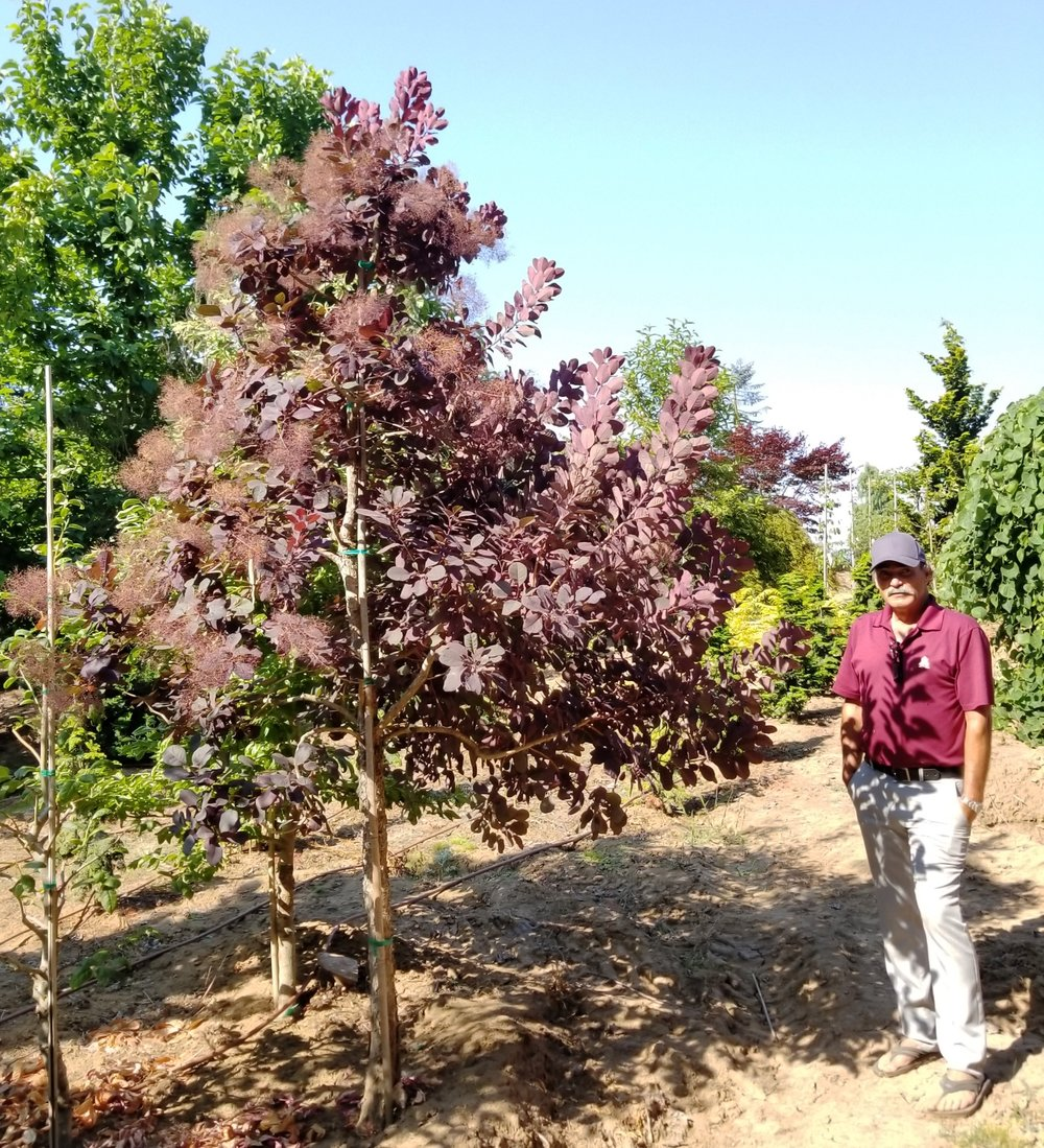 Cotinus 'Royal Purple'.jpg